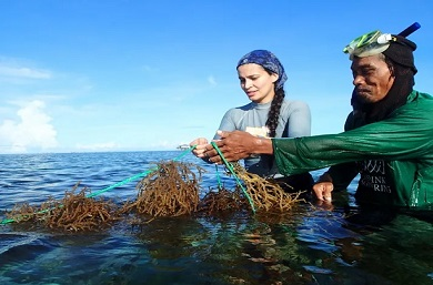 Dr Valeria Montalescot of SAMS helps harvesting seaweed at a farm in Bohol, Philippines as part of GlobalSeaweedSTAR