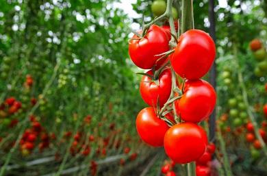 tomate2F-390x257.jpg