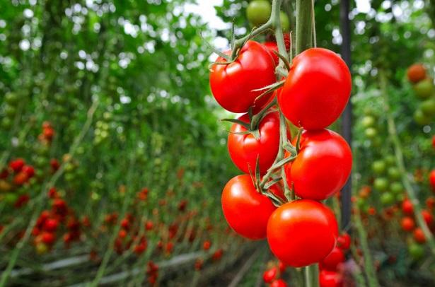 tomate2F