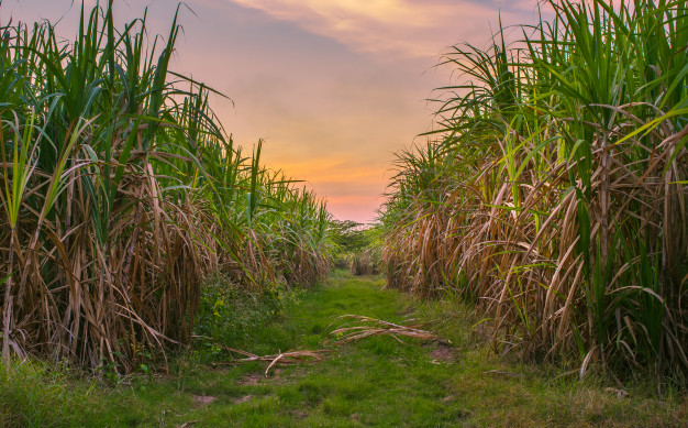 sugar-cane-with-landscape-sunset-sky-photography-nature-background_615x406
