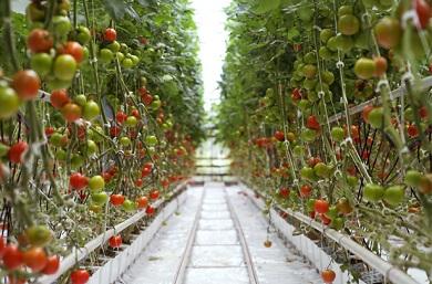 Tomaten-390x257.jpg