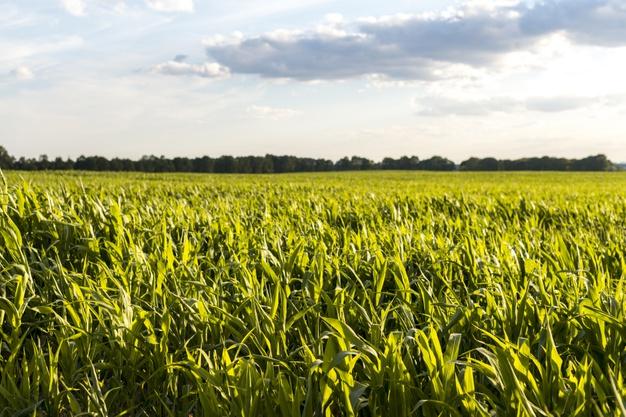ceu-nublado-com-um-cornfield-ligado-por-do-sol_23-2148233460