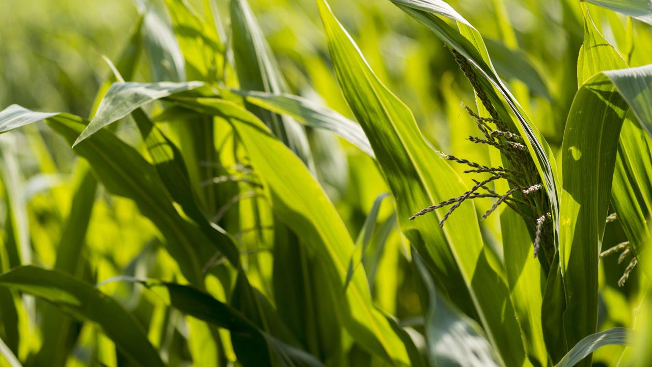 corn-1280.jpg