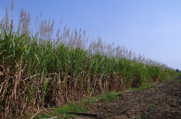 sugarcane-615